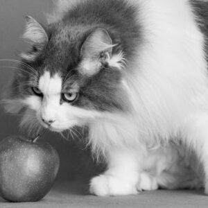 Fotolõuend Mustvalge Sabake õunaga 45*30cm